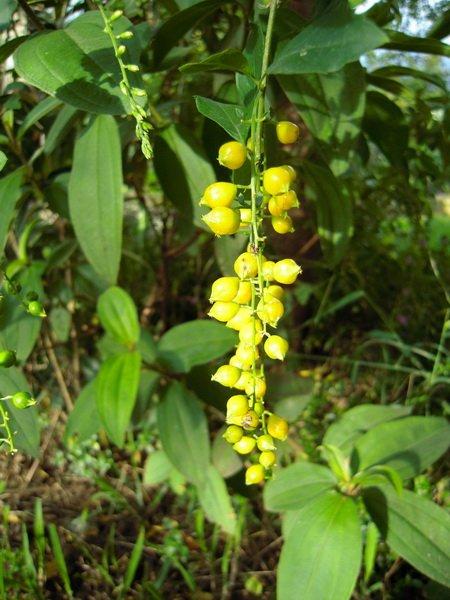 金黃色的花苞